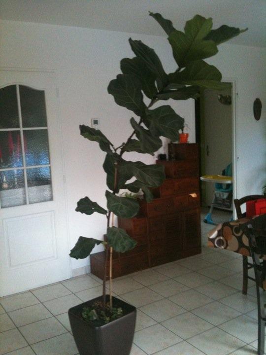 mon ficus lyrata !! hier et aujourd hui ;o) Ficus_10
