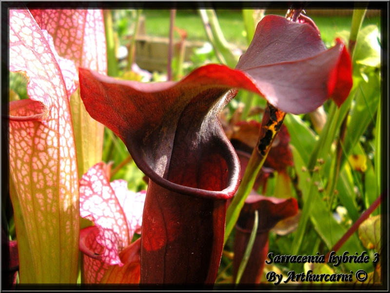 [description] HNI09 Sarracenia hybride Belle_12