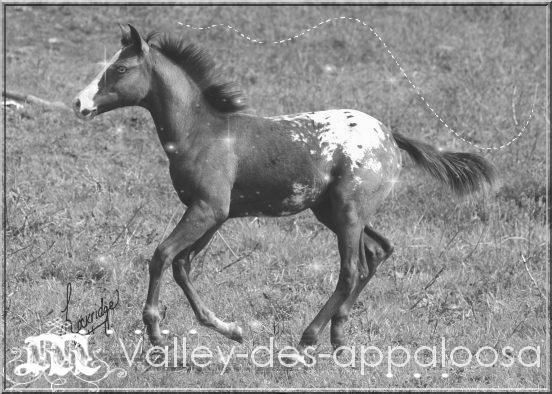 valley des appaloosa