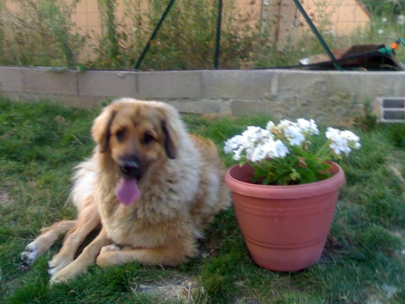 Petit blog de Bloom notre fifille léonberg 158_0311