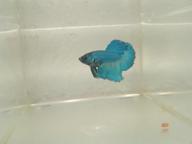 F1 bleu/turquoise mask geno BF HM Dsc02519