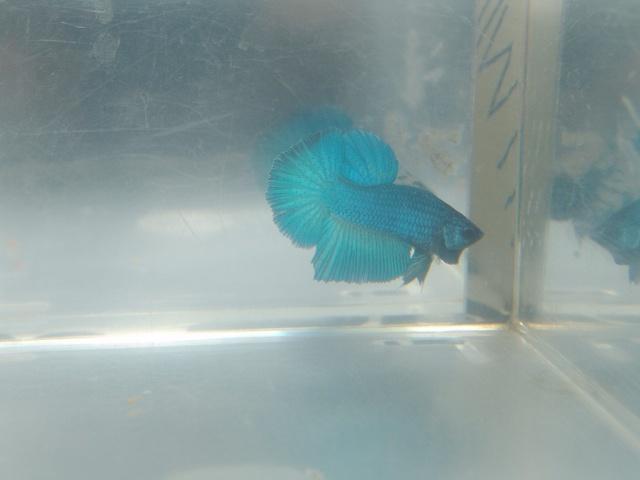 F1 bleu/turquoise mask geno BF HM Dsc02520
