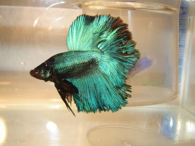F1 bleu/turquoise mask geno BF HM Dsc05212
