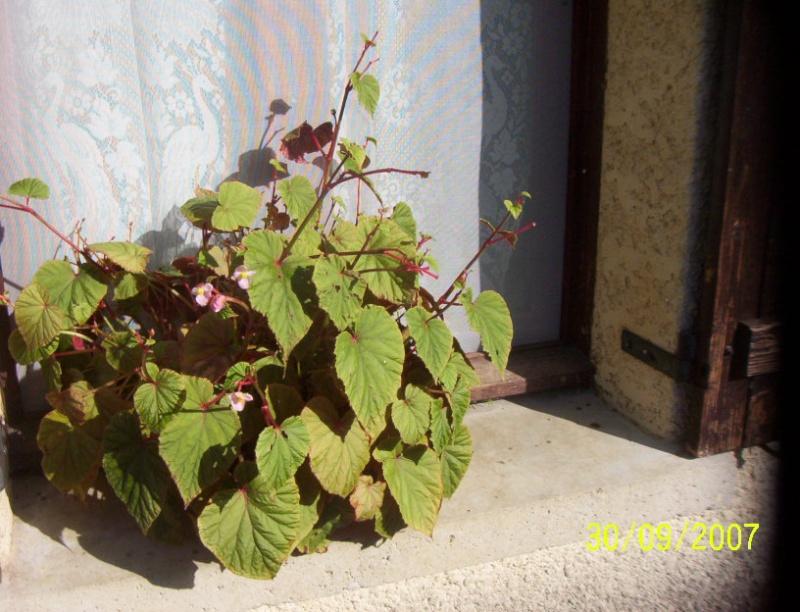 begonia[B.grandis] Photo_13