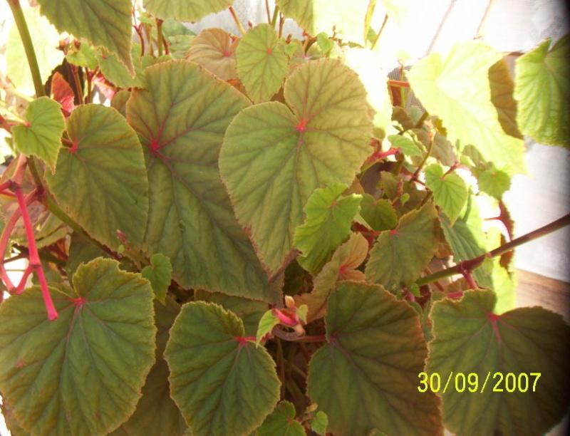 begonia[B.grandis] Photo_14
