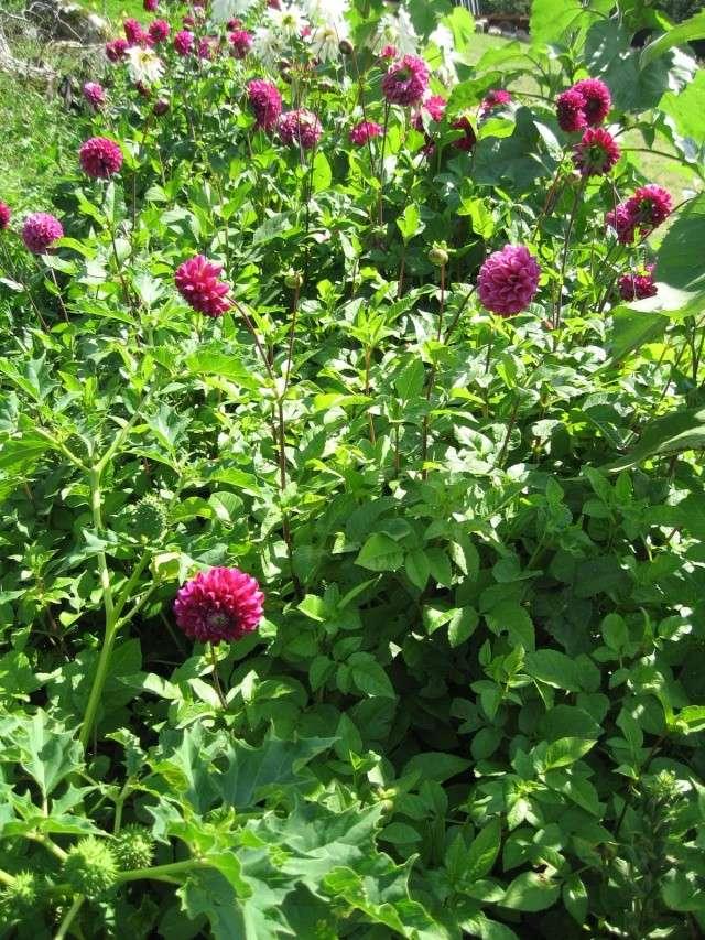 Fleurs du jardin Img_0024