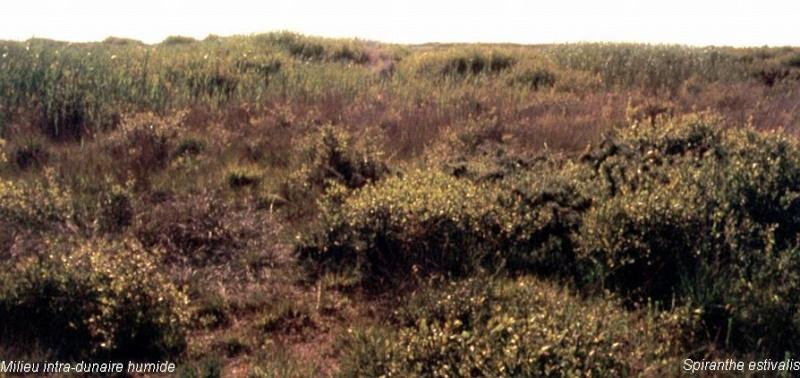Spiranthes spiralis  ( Spiranthe d'automne ) Milieu10