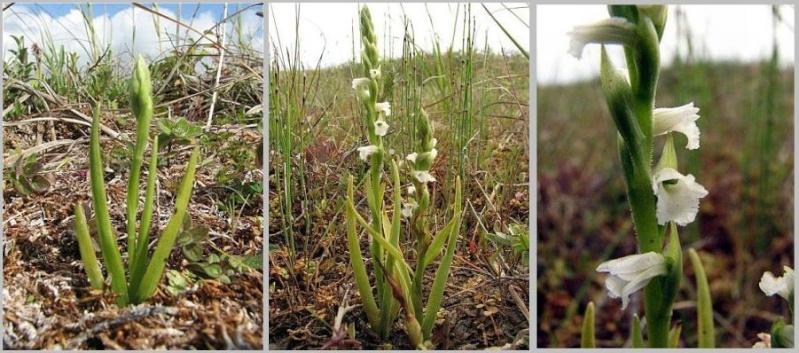 Spiranthes spiralis  ( Spiranthe d'automne ) Serie-10