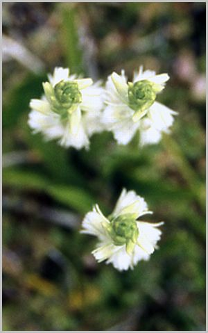 Spiranthes spiralis  ( Spiranthe d'automne ) Spiran16