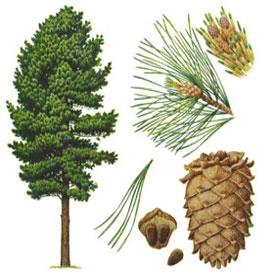 لجمال ونضارة البشرة إعتمدى الزيوت العشبية الطبيعية Cedarw10