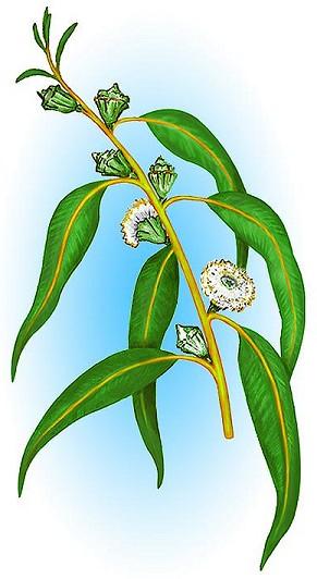 لجمال ونضارة البشرة إعتمدى الزيوت العشبية الطبيعية Eucaly10