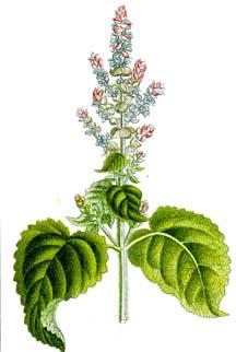 لجمال ونضارة البشرة إعتمدى الزيوت العشبية الطبيعية Salvia10