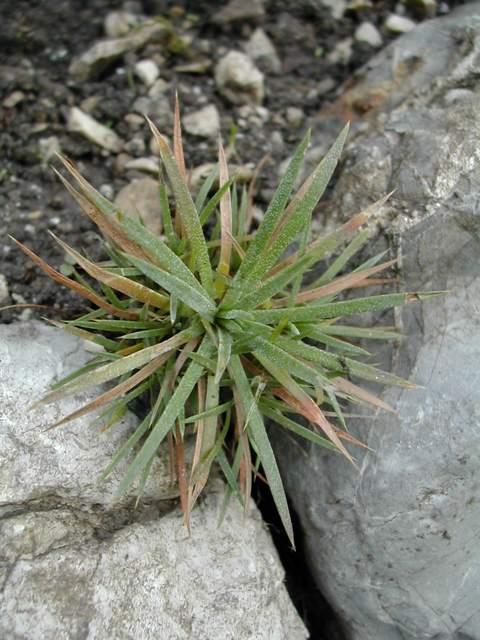 Acantholimon lycopodioides Acanth10