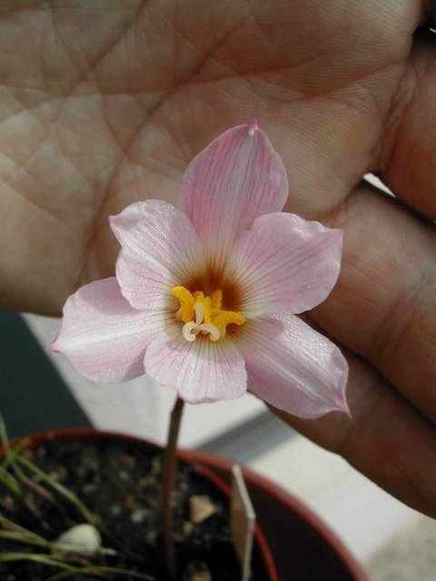 Habranthus gracilifolius Habran10