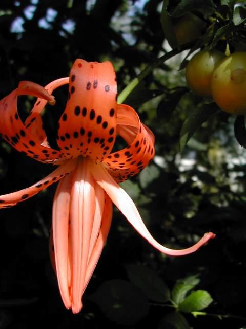 Lilium lancifolium forme simple et double Lilium11