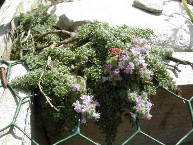Thymus serpyllum 'Minor' Thymus10