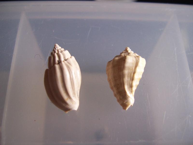 coquillages aquitanien et stampien 100_5711