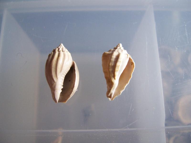 coquillages aquitanien et stampien 100_5712