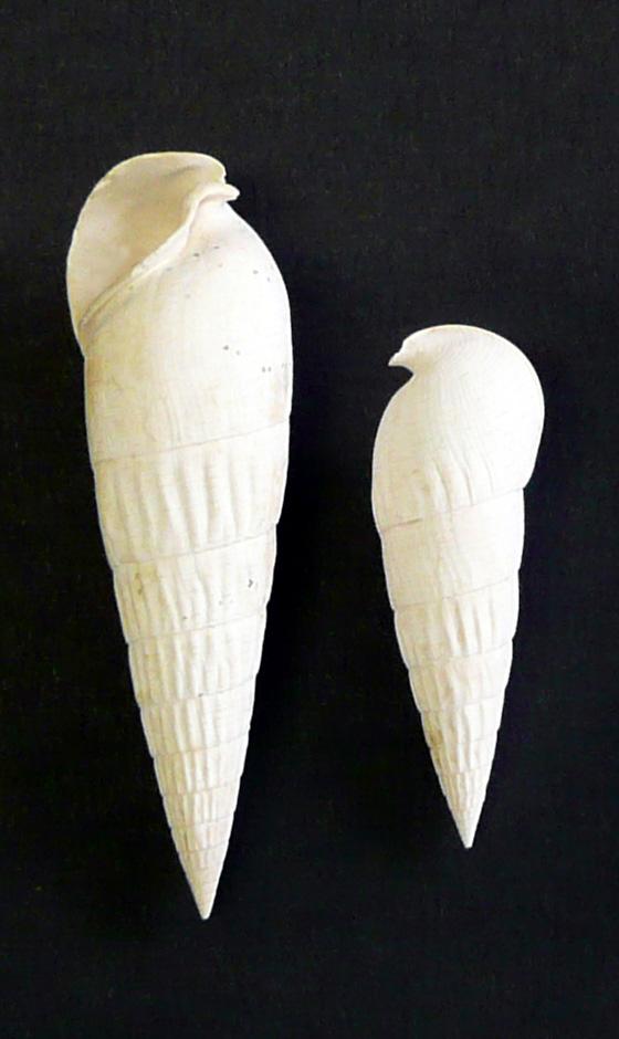 [résolu]Clava (Semivertagus) unisulcata (Lamarck, 1804) P1000210