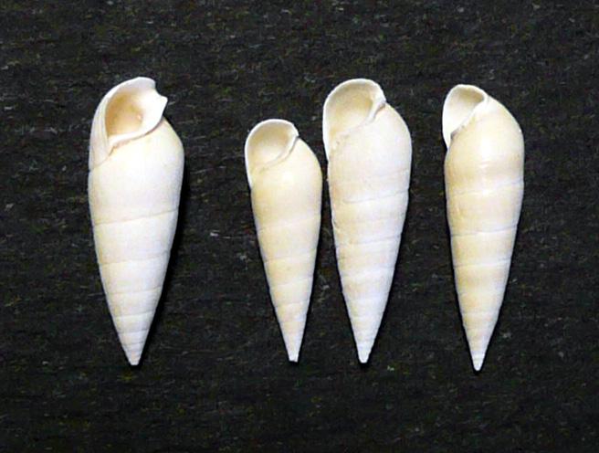 [résolu]Clava (Semivertagus) unisulcata (Lamarck, 1804) P1000212