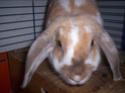[rongeurs,...] Le lapin Polux10
