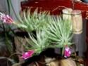 Cette fois c'est mon tenuifolia !! Fleur_11