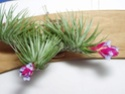 Cette fois c'est mon tenuifolia !! Fleur_12