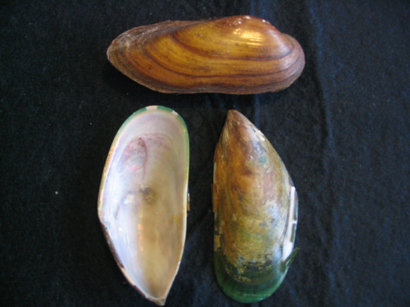 [résolu]Unio pictorum (LINNAEUS, 1758), Perna viridis (LINNAEUS,1758 20_aou10