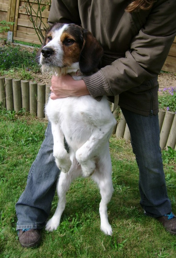 ADHOC, croisé beagle/griffon mâle, 5 ans 1/2 (56) Adh210