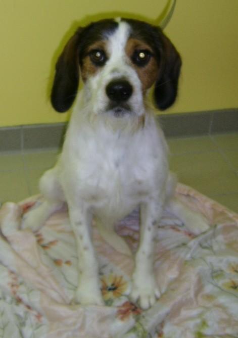 ADHOC, croisé beagle/griffon mâle, 5 ans 1/2 (56) Adhoc110