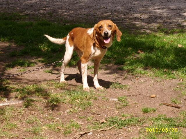 """GAVOTTE,  croisée beagle harrier, 8 ans (56) - Asso """"Coeur Sur Pattes"""" Fofo210"""