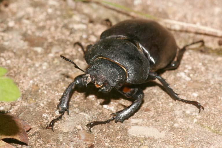 Coléoptères Dorcus11
