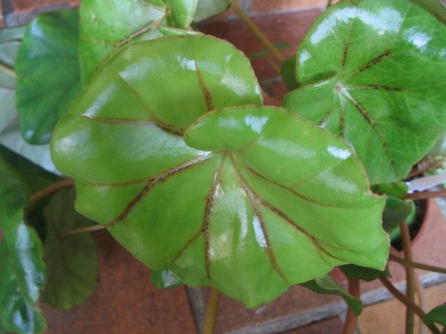 Begonia pinetorum* Img_0011