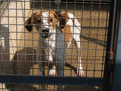 KINDER, type beagle mâle, 3 ans (17) 20070510