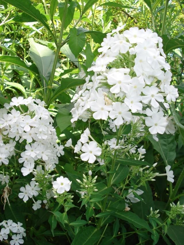 jardins et massifs de vivaces 188_0047