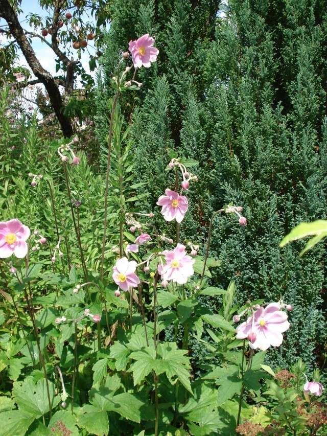 jardins et massifs de vivaces 188_0210