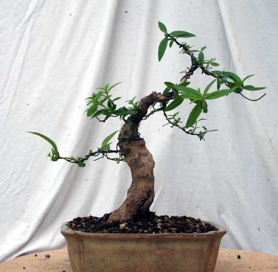 Verveine en bonsai - Page 2 Img_4210