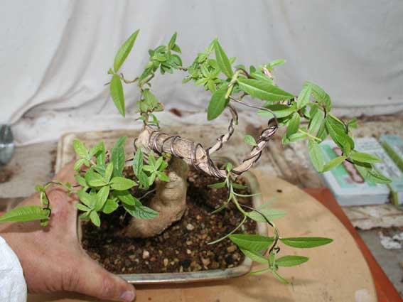 Verveine en bonsai - Page 2 Img_4211