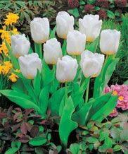 tulipe10.jpg