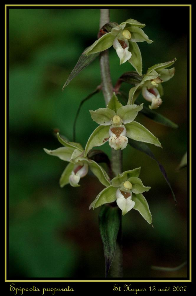 Epipactis purpurata ( Epipactis violacé ) Repurp13