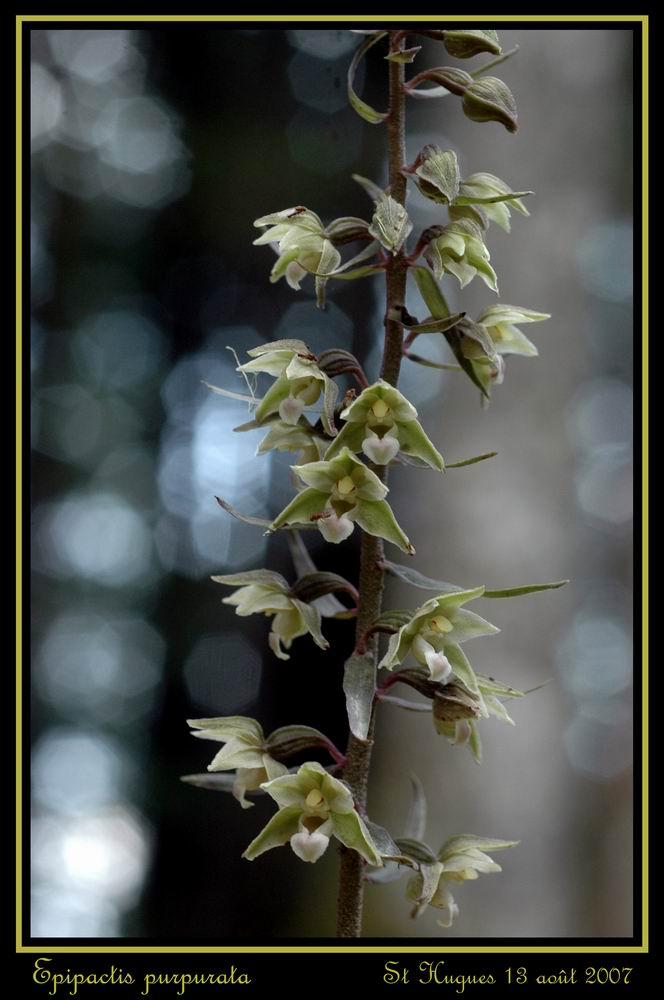 Epipactis purpurata ( Epipactis violacé ) Repurp14
