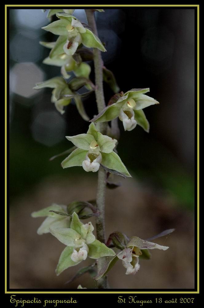 Epipactis purpurata ( Epipactis violacé ) Repurp15