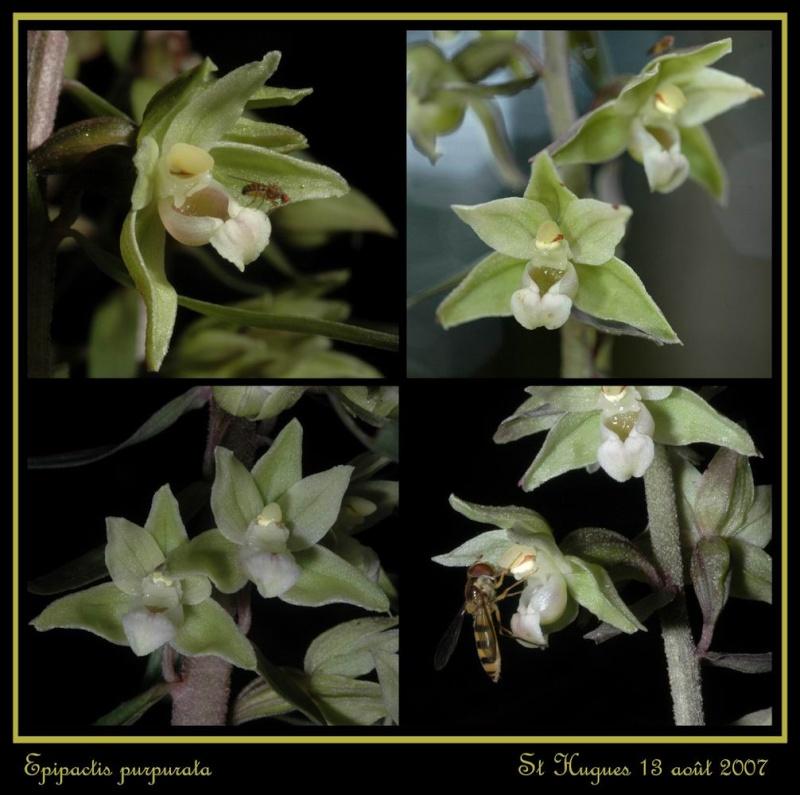 Epipactis purpurata ( Epipactis violacé ) Repurp16
