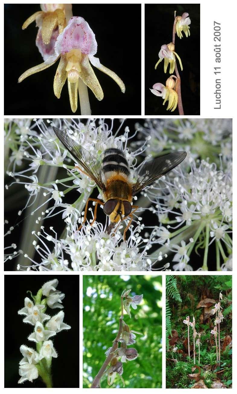 Epipogium aphyllum  ( Epipogon sans feuille ) Luchon11