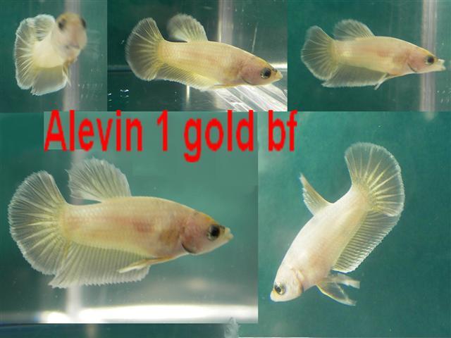 Jeunes plakats gold, pastel... Alevin15