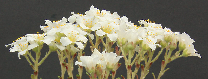 Saxifrages en 2011. - Page 3 Img_1027