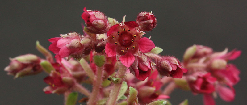Saxifrages en 2011. - Page 3 Img_1033