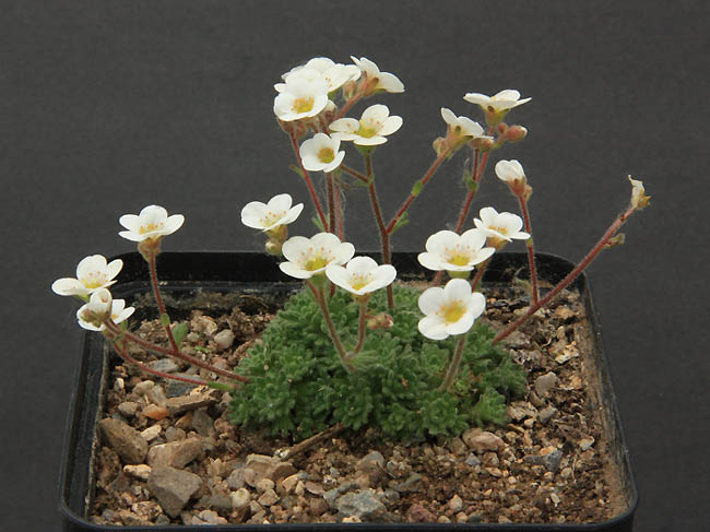 Saxifrages en 2011. - Page 3 Img_1228