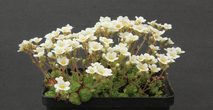 Saxifrages en 2011. - Page 3 Img_1230