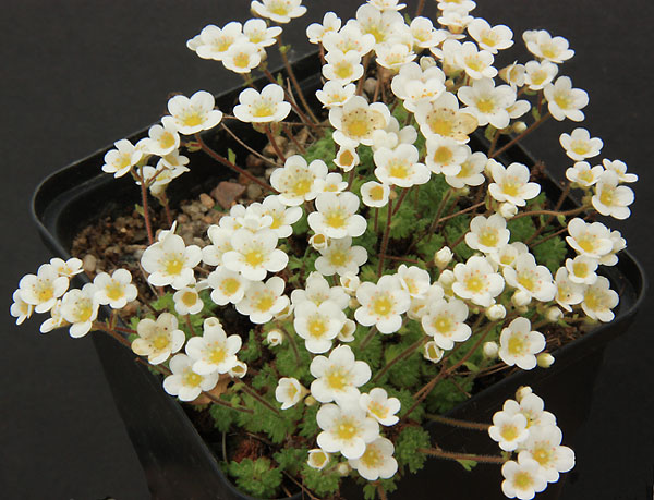 Saxifrages en 2011. - Page 3 Img_1231